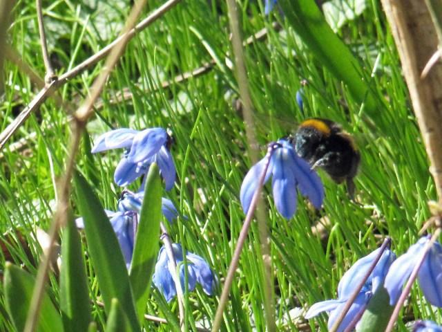 03-5-2013-busy-bee-in-scillas
