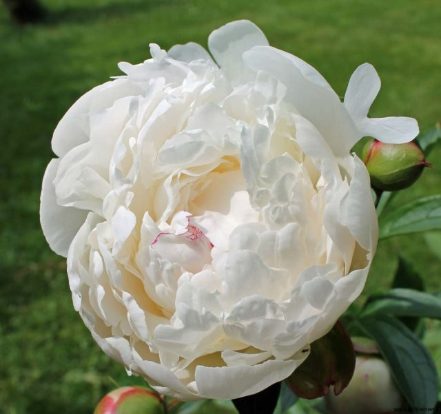 13-06-2013-white-peonies-blossoming