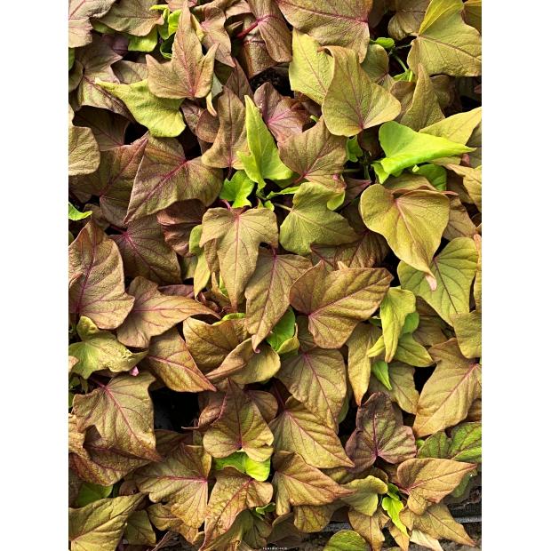 ipomoea batatas new bronze