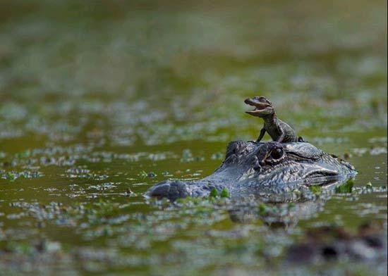 Mama en kind Krokodil
