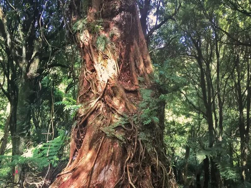 massive trees in manawatu gorge