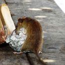 Ketika Tikus di Jepang Bebas Berlarian di Jalanan yang Sepi