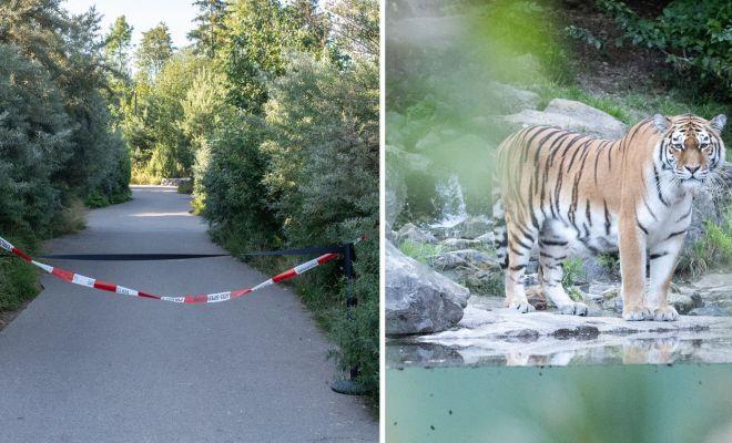 Penjaga Kebun Binatang di Swiss Tewas Diterkam Harimau