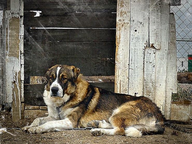 greeksheepdog