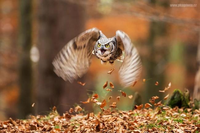 14265860-R3L8T8D-650-owl-photography-13__880