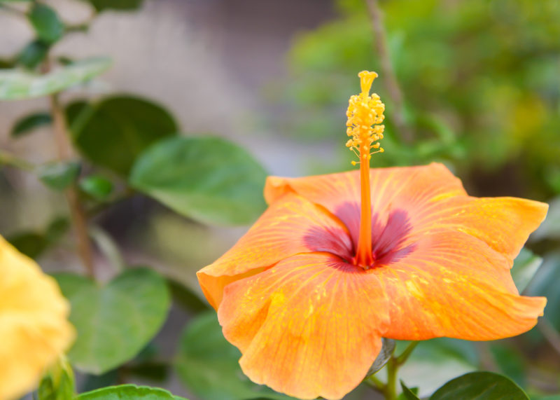chinese-hibiscus-e1467121371471