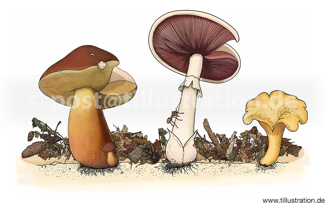 Die Illustration zeigt einen Steinpilz, einen Champignon und einen Pfifferling