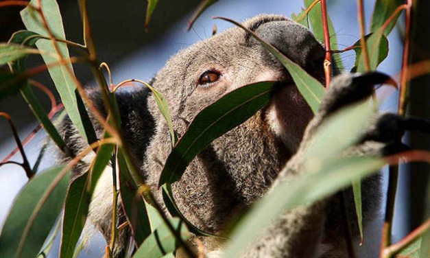 NEW SOLUTION FOR KOALA PROTECTION