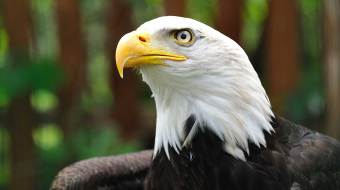 Return of the Eagle Program