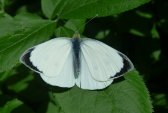 koolwit,vlinder
