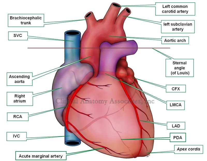Anatomy of the Heart | Time of Care