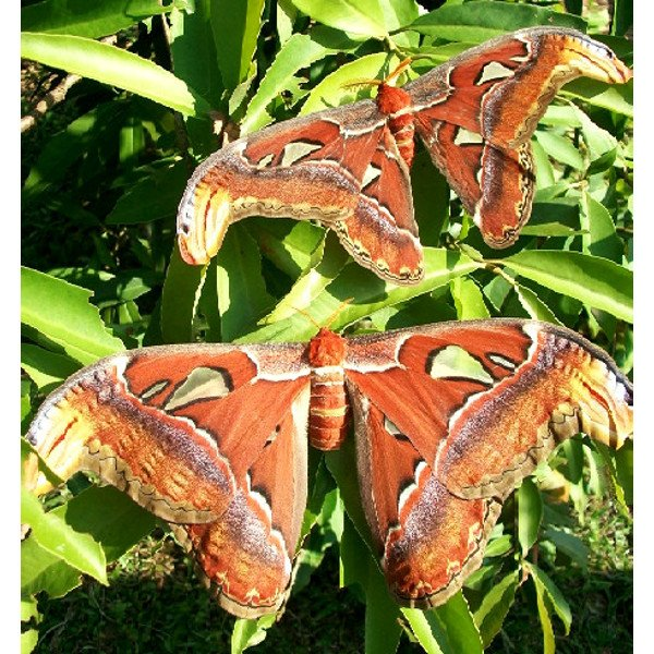 Attacus atlas Lepidopera Moth