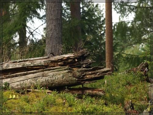Vaatetorn Siimika metsas