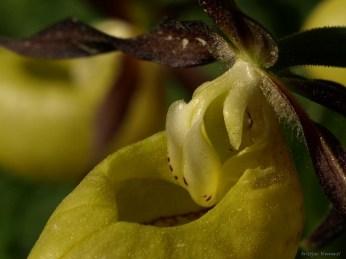 Kaunis kuldking