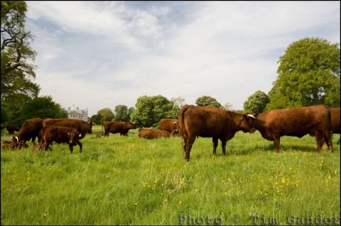 Devon Red cows in Dorset