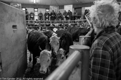 Farmers at Standerwick farmers' market watch as cattle pass through the gate after auction