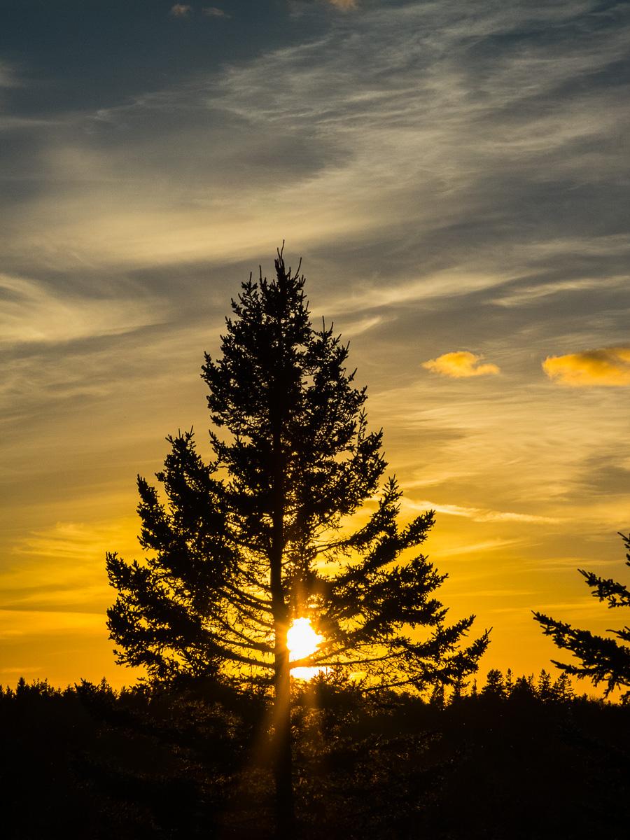 The sun sets behind a large Canadian pine tree, Nova Scotia, Canada.