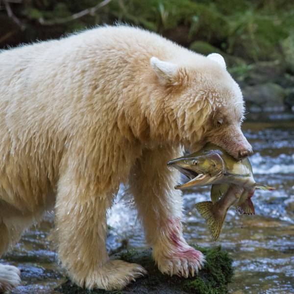 Spirit bear standing on a bounder in a creek with a pink salmon in its jaws.