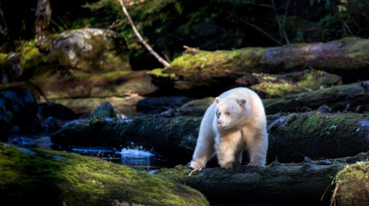 A spirit, or Kermode, bear standing on a mossy log in the Great Bear Rainforest