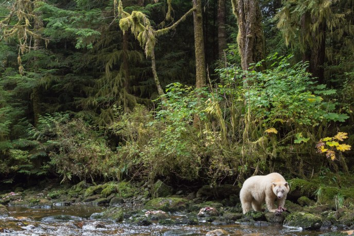 A spirit bear in the rainforest