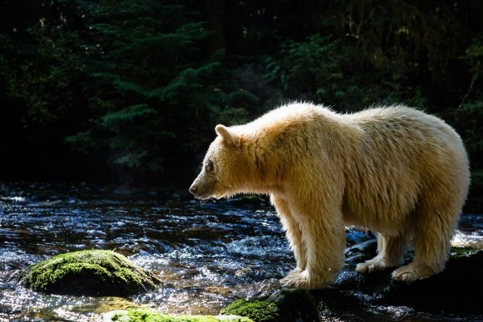 An elder female spirit bear standing on mossy rocks on the lookout for salmon