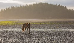 A young coastal wolf standing on a beach in the Great Bear Rainforest