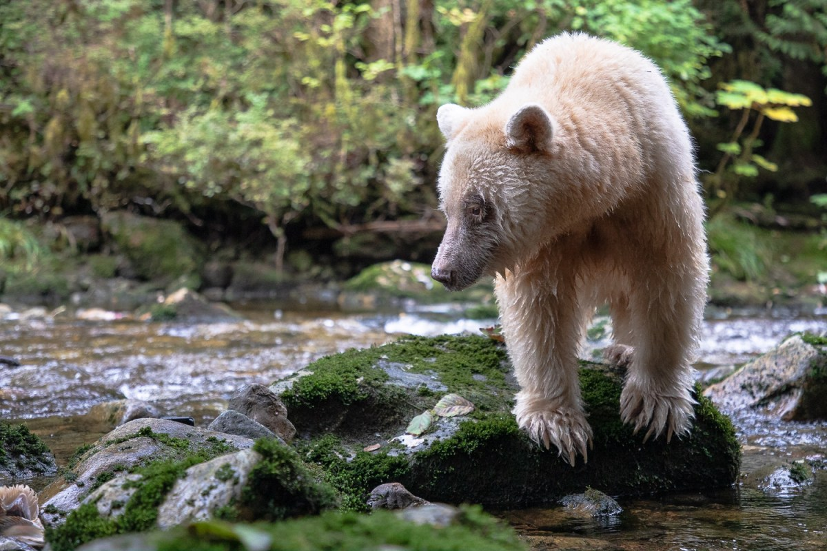 Ma'ah, an 20-year-od spirit bear, looking for salmon in the Great Bear Rainforest