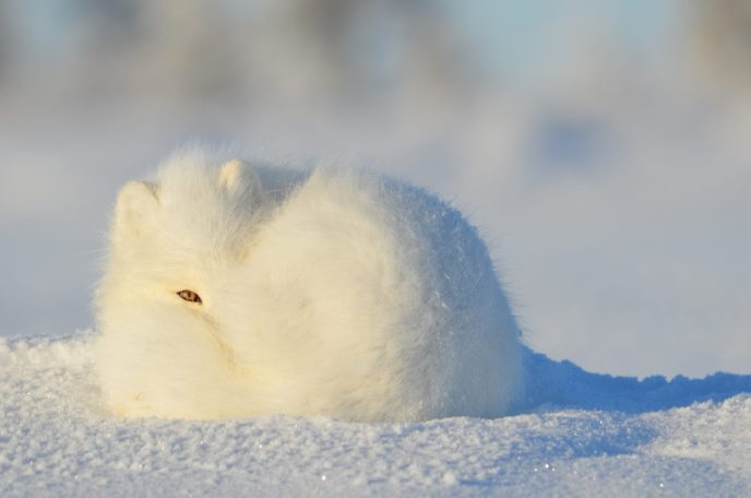 An arctic fox curled up in the snow with one eye open
