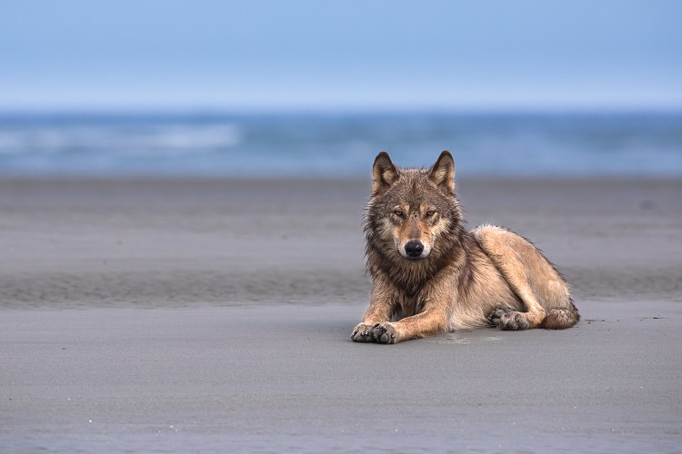 Coastal wolf lying on the sand with ocean in the background
