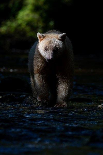 A spirit bear in the shadows