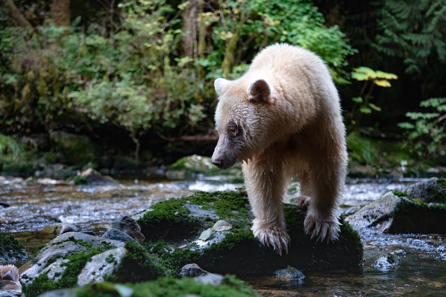 Ma'ah - a famous spirit bear - scanning a creek for salmon in the Great Bear Rainforest