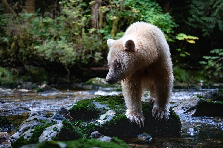 Ma'ah - a famous spirit bear - standing on a mossy rock in a creek searching for salmon