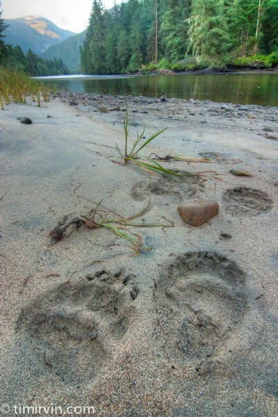 Grizzly Bear tracks by river
