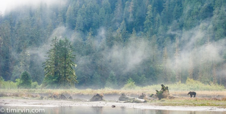 A grizzly bear standing on a log within an estuary in the Great Bear Rainforest