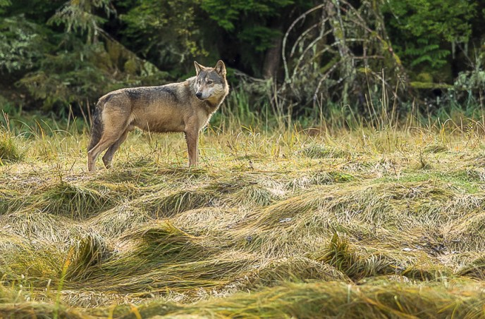 coastal wolf standing in sedges in an estuary in the Great Bear Rainforest of British Columbia