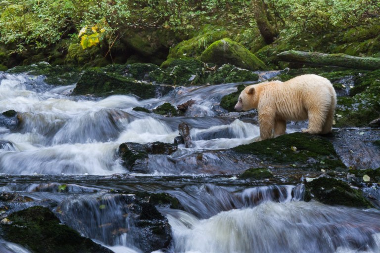 An Ordinary Day With Spirit Bears?