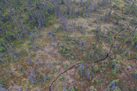 Woodland caribou trail snaking through sphagnum and black spruce the Far North.