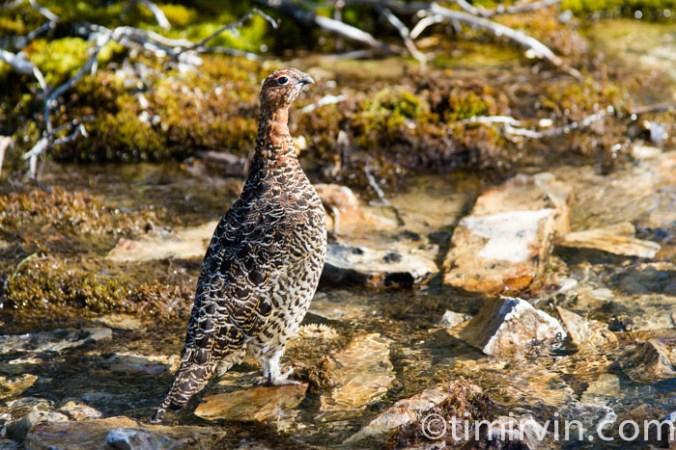 ptarmigan in summer plumage in the Yukon