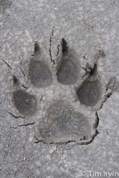 Wolf track in mud on Snake River, Yukon
