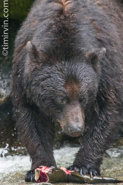 Black bear eating a salmon