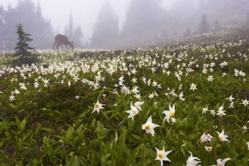 Black-tailed deer and avalanche lilies, Olympic National Park, WA.