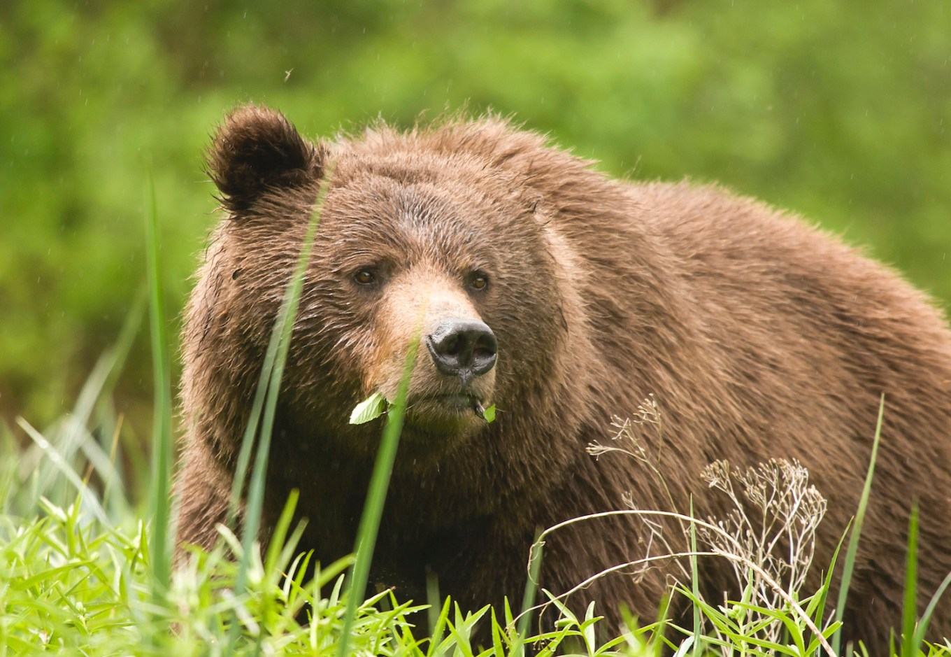 An adult male grizzly bear foraging in a coastal estuary in the Great Bear Rainforest