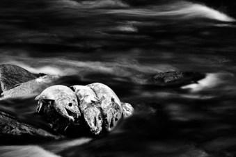 Dead Chum Salmon