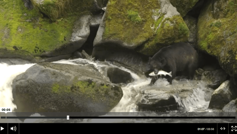 Bears, Salmon and Drama at Alaska's Anan Creek