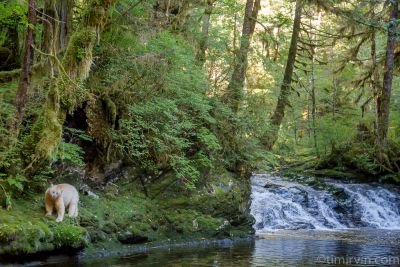 Spirit bear in the rainforest by a waterfall.