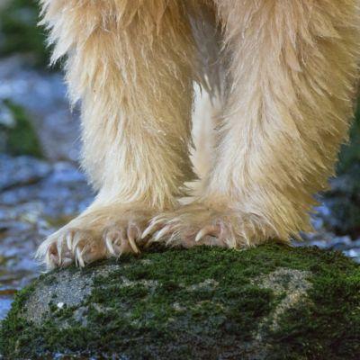 White legs of a spirit bear