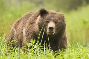 A bear with only one ear stands in a field of green grass, looking at me.