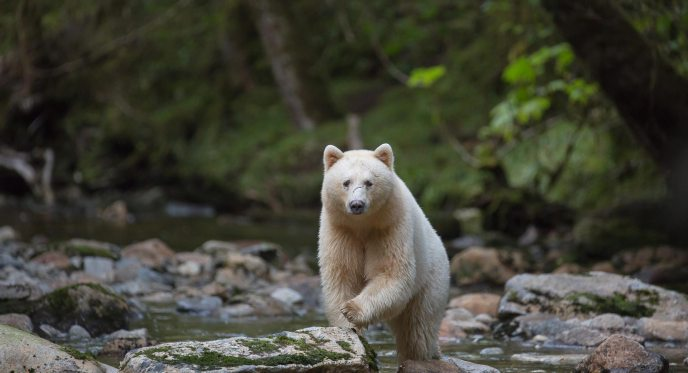 A Spirit Bear stands in the stream facing us.