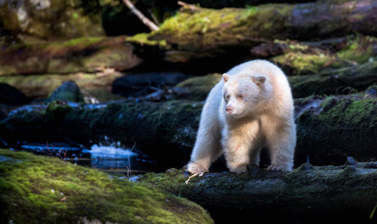 Spirit bear on a mossy log in the rainforest.