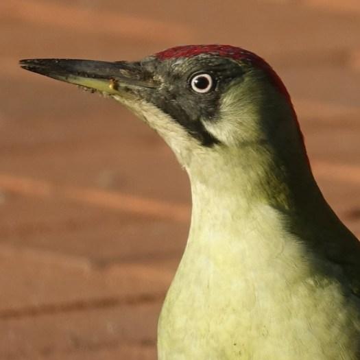Grünspecht - Der Wintervogel
